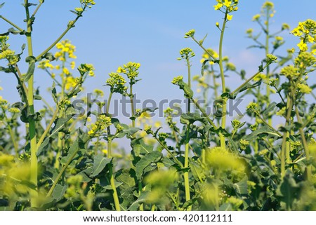 Blooming canola closeup with blue sky above - stock photo