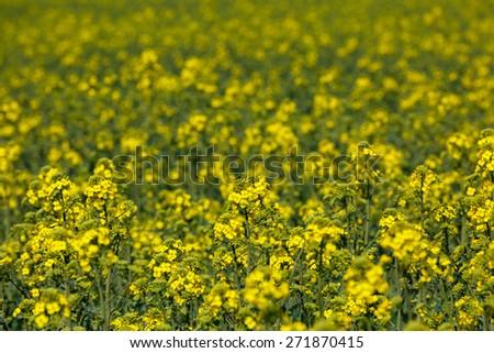 Blooming canola field - Rape on the field in summer - stock photo