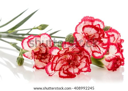 Blooming carnation flower isolated on white background - stock photo