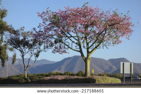 Blooming Ceiba speciosa or Floss Silk Tree also known as Palo Borracho (Drunken Stick), Camarillo, CA - stock photo