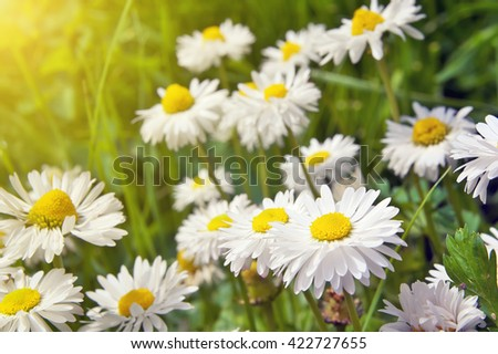 Blooming chamomile. Chamomile flowers - stock photo