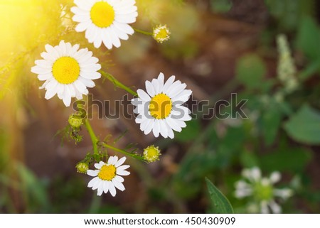 Blooming chamomile on green field - stock photo