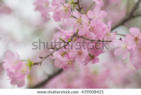 Blooming cherry blossoms in spring - stock photo