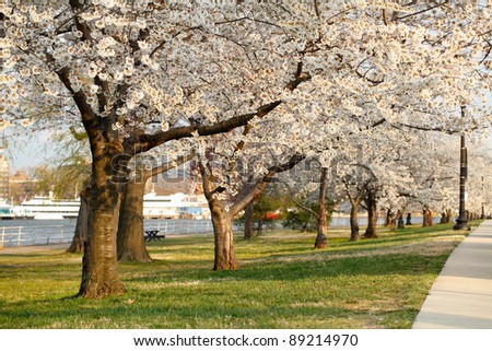 Blooming Cherry Blossoms of East Potomac Park during National Cherry Blossom Festival in Washington, DC - stock photo