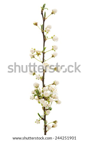 blooming cherry branch on a white background - stock photo