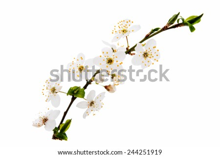 blooming cherry branch on a white background