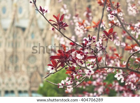 blooming cherry branch with blurred Basilica and Expiatory Church of the Holy Family at background, Barcelona, Spain - stock photo