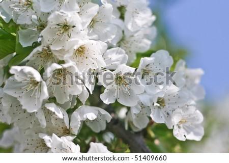 Blooming cherry, flower - stock photo