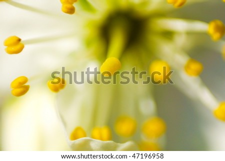 Blooming cherry petal in  summer close up abstract - stock photo