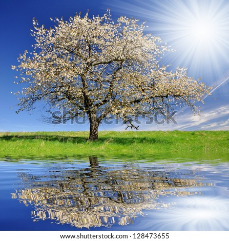 Blooming cherry tree - stock photo
