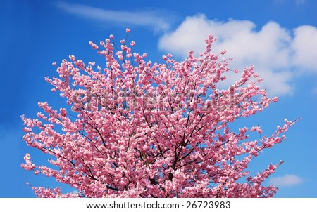 Blooming cherry tree against a cloudy blue sky - stock photo