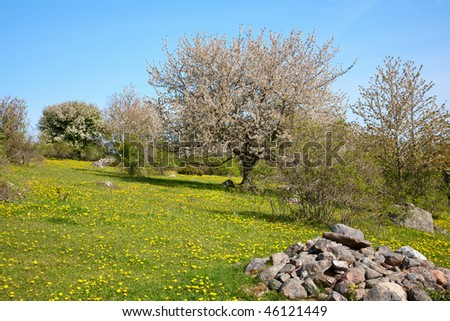 Blooming cherry tree at spring landscape