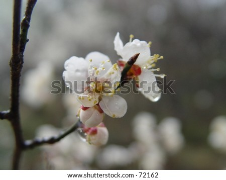 Blooming cherry tree blossoms - stock photo