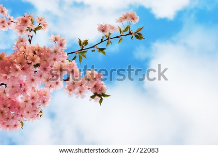 Blooming cherry tree branches against a cloudy blue sky - stock photo