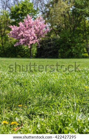 Blooming cherry tree in public gardens with dandelion flowers in the grass - stock photo