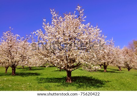 Blooming cherry tree in spring - stock photo