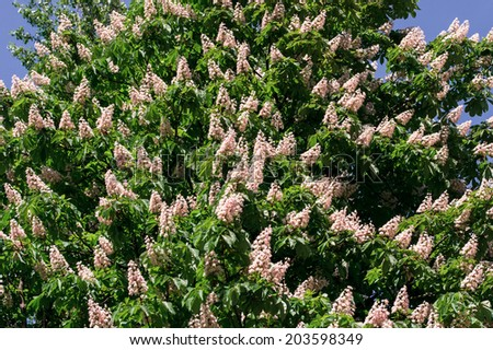 blooming chestnut - stock photo