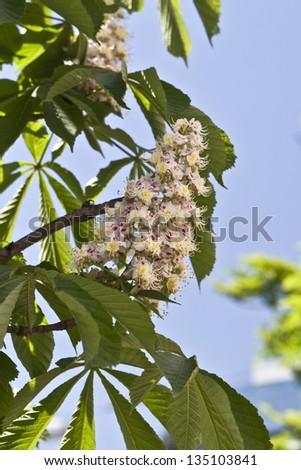 Blooming chestnut tree in Kiev, Ukraine - stock photo