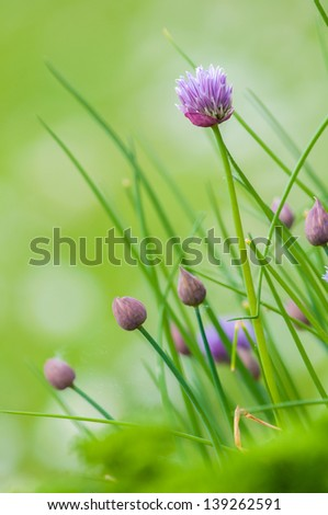Blooming chives herb with green natural blurred background - stock photo