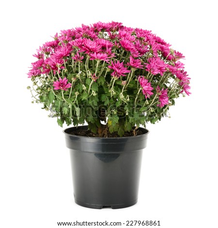 blooming chrysanthemum in flowerpot isolated on white background - stock photo