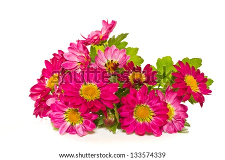 blooming chrysanthemums in a pot on a white background