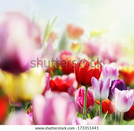 blooming colorful tulips