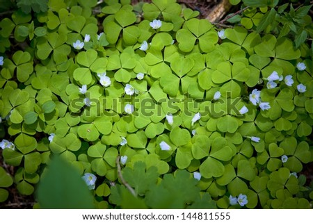 Blooming common wood-sorrels, suitable for background - stock photo