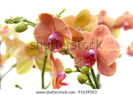 Blooming coral Phalaenopsis orchid's plants on white background (selective focus) - stock photo