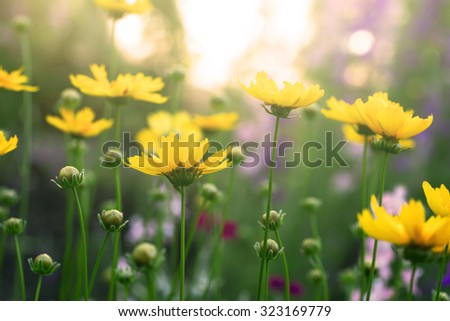 blooming coreopsis flowers in a field - stock photo