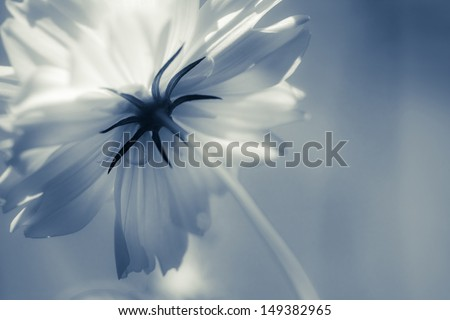 Blooming cosmos background in monotone color, take closeup shot behind the flower - stock photo
