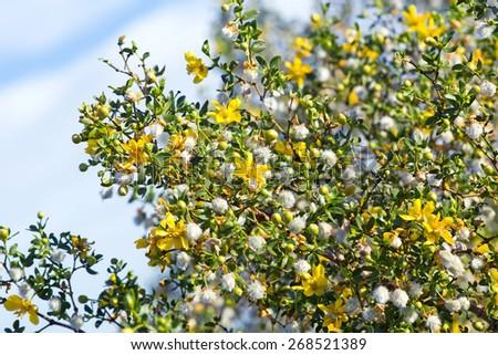 Blooming creosote bush (Larrea tridentata) against the sky - stock photo