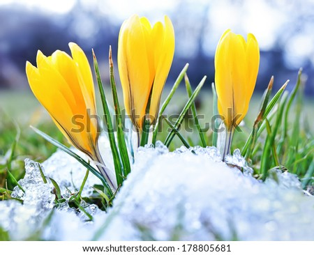 Blooming crocuses and snow shooting from ground level with shallow depth of field  - stock photo