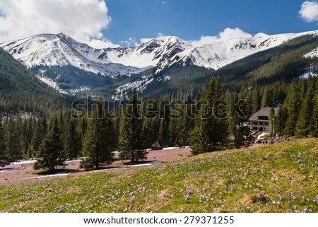 Blooming crocuses in Chocholowska valley in West Tatras, Poland
