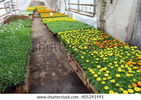 Blooming cultivar annual Tagetes seedlings in the modern greenhouse in spring - stock photo
