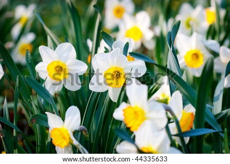 Blooming daffodils in garden - stock photo
