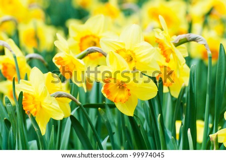 Blooming daffodils in spring - stock photo