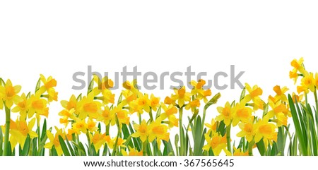 blooming daffodils isolated on white background - stock photo