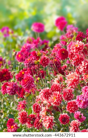 Blooming Dahlia flower bed of pink and magenta blossoms; Cottage garden; Floral greeting card; Garden flowers - stock photo