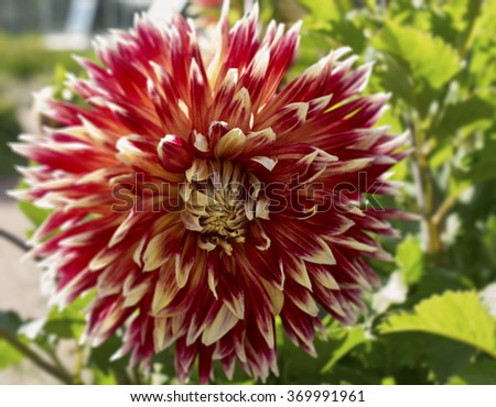 blooming Dahlia flower closeup. On a Sunny summer day - stock photo