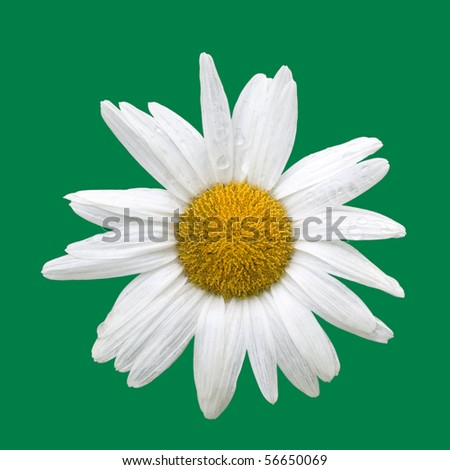 Blooming daisy with raindrops, isolated on green - stock photo