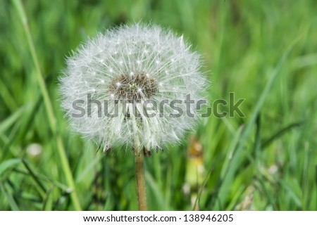 Blooming dandelion close up