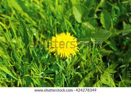 Blooming dandelion on green grass background, closeup - stock photo
