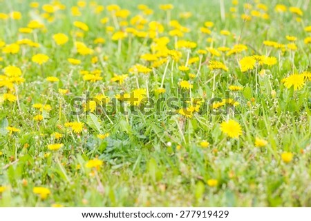 Blooming dandelions flowers in green grass. Yellow springtime flowers. - stock photo