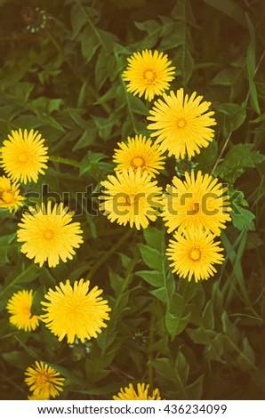 blooming dandelions, retro filter - stock photo