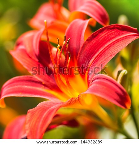 Blooming daylilies - Hemerocallis - in summersun in the garden - stock photo