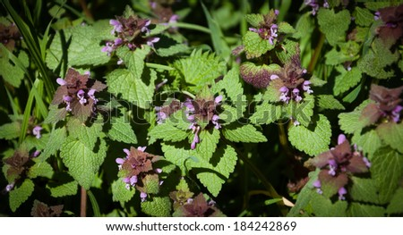 Blooming Dead nettle (Lamium purpureum) in its natural environment. A game of light and shadow. - stock photo