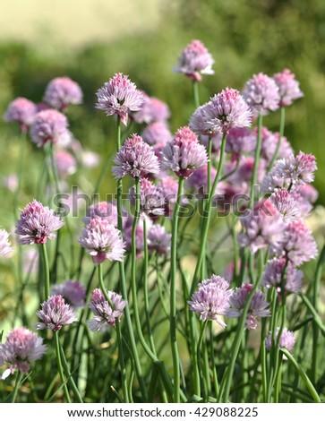 Blooming decorative onion at spring season - stock photo