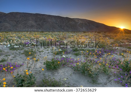 Blooming Desert near Anza Borrego Springs, California. - stock photo