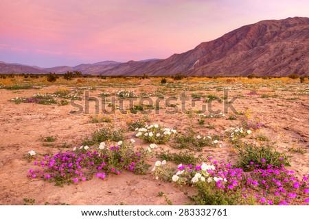 Blooming desert near borrego springs sunrise stock photo download blooming desert near borrego springs at sunrise mightylinksfo