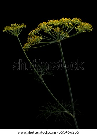 Blooming dill on black